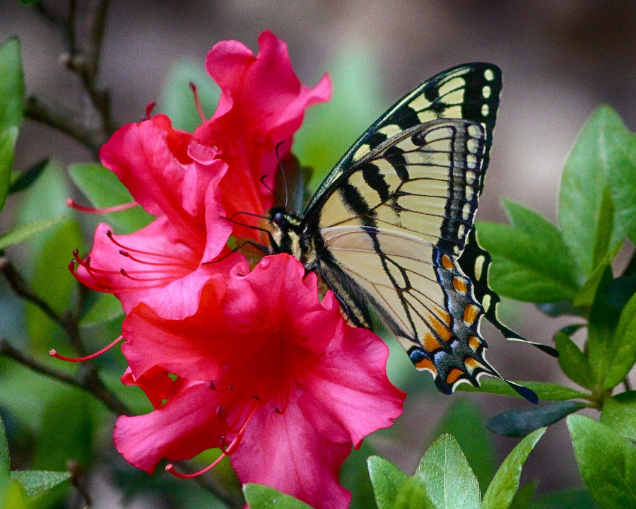 Butterfly, Swallowtail, Yellow, Old World