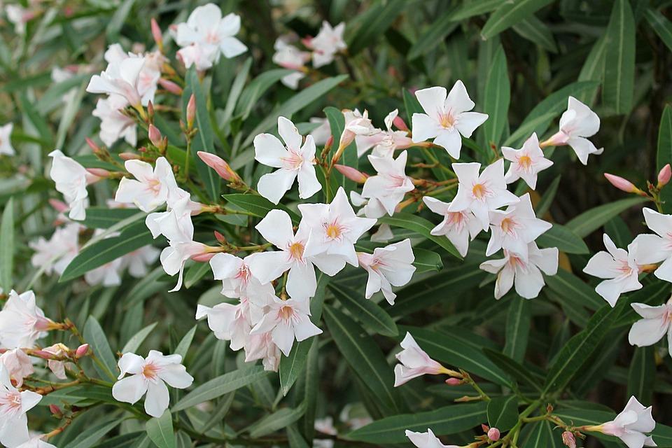 Oleander, Common Oleander, Oleander White