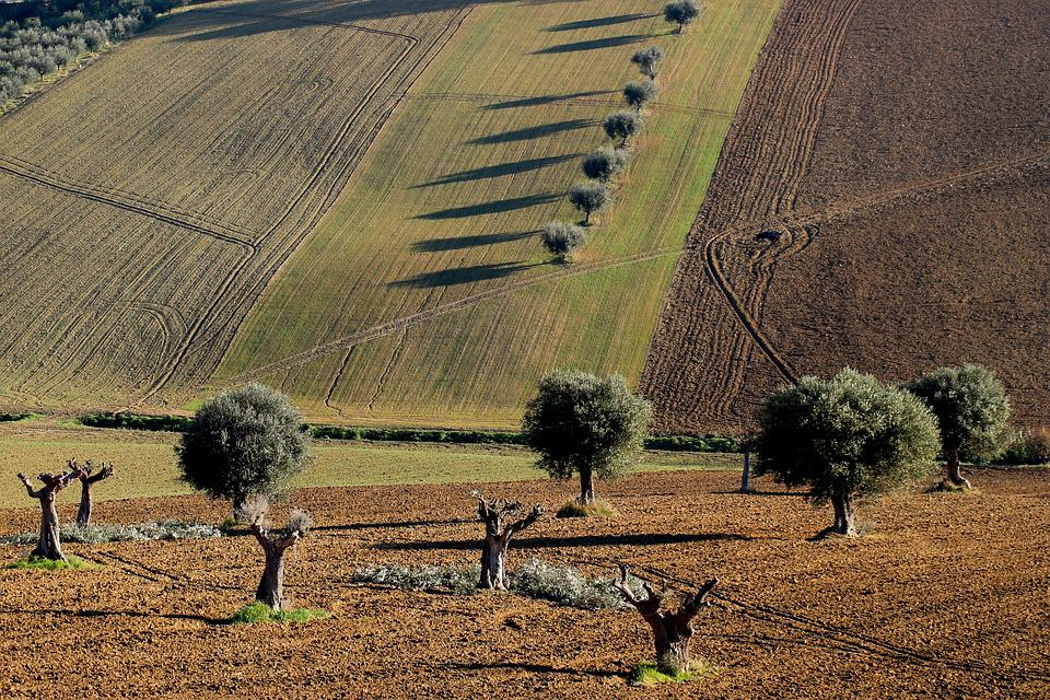 Olive, Trees, Nature, Tree, Landscape, Olive Grove