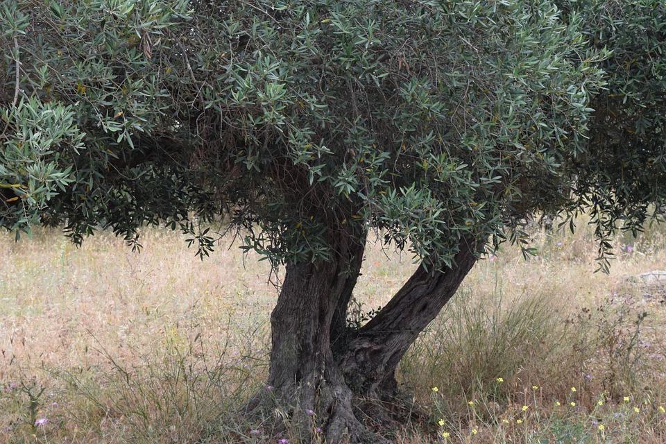 Olive Tree, Tree, Old Tree, Gnarled, Nature, Olive Root