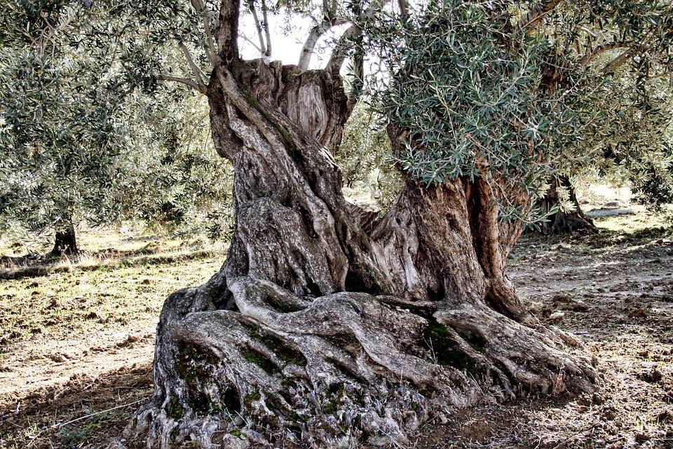 Olives, Levels, Olive Tree, More Olive