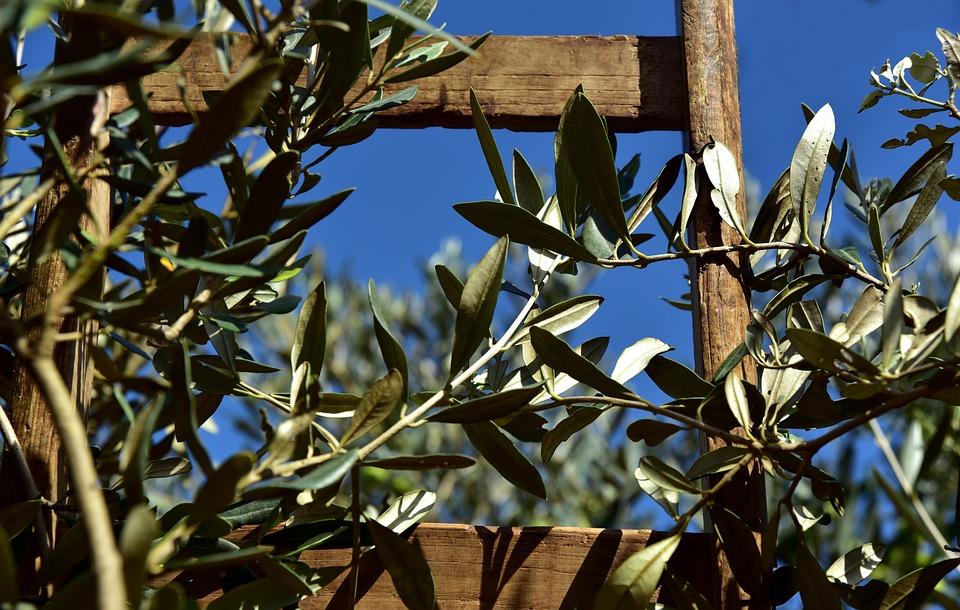 Wooden Ladder, Rung, Olive Tree, Olive Branch