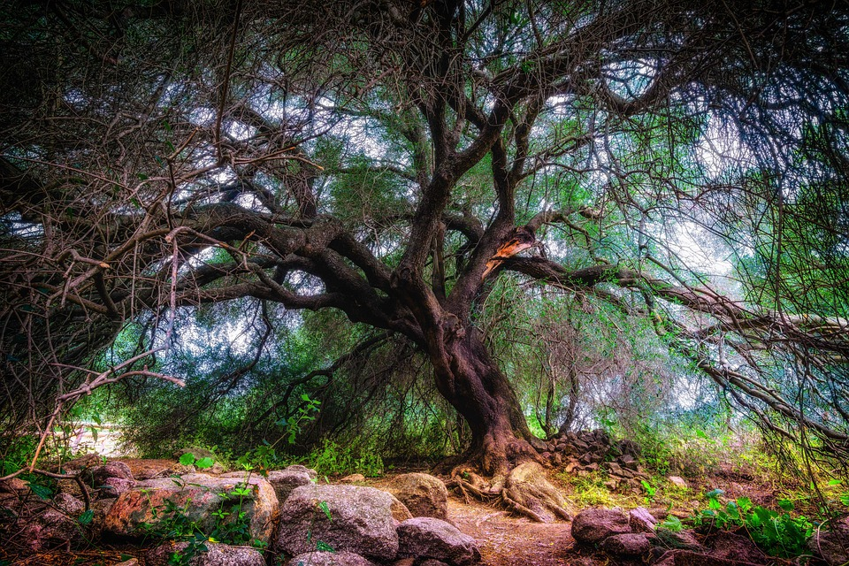 Olive Tree, Tree, Olivier, Old, Nature, Sign On, Tribe