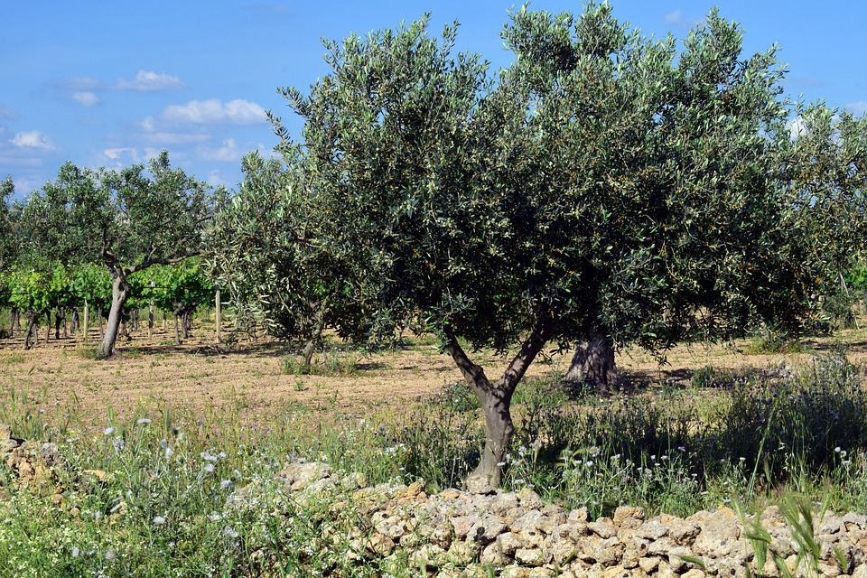 Olive Trees, Plantation, Tree, Olive Grove, Agriculture