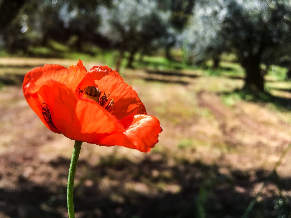 Poppy, Field, Olive Trees, Olive Grove, Red, Flower