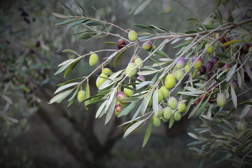 Olive, Olive Trees, Orchard, Tree, Spanish, Close Up
