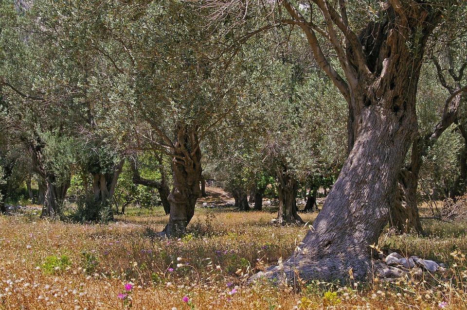 Olive Trees, Old, Olive Tree, Log, Wood, Olives, Tree