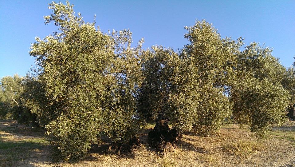 Olive, úbeda