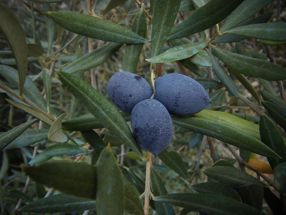 Olive, Olives, Vegetable, Field, Oil, Harvest