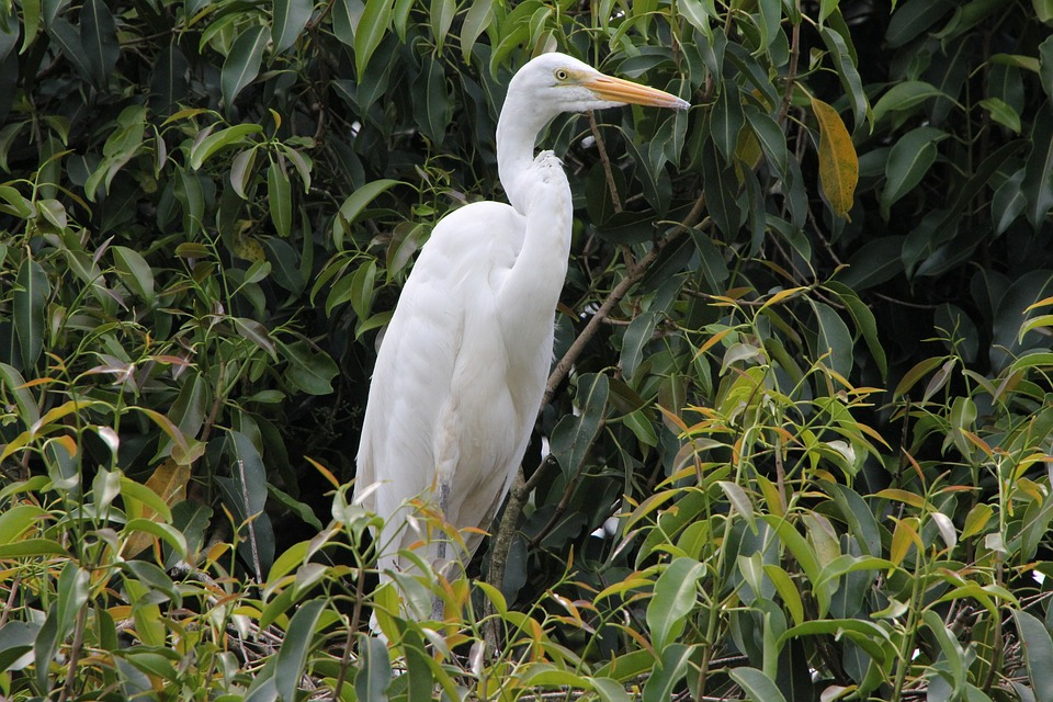White Crane, Bird, Great, On The Branch, Inhabit