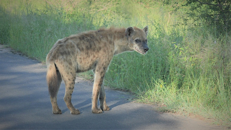Spotted Hyena, Scavenger, Predator, Ugly, On The Road