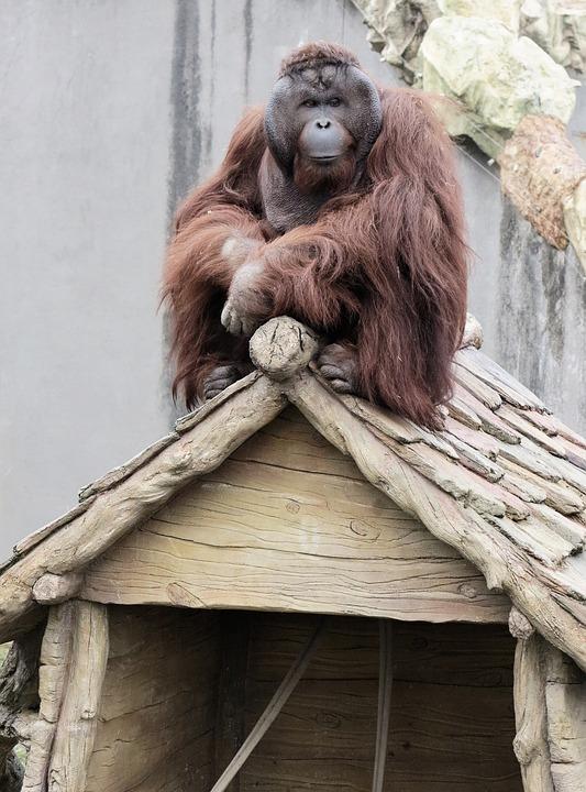 Orangutan, Animal, Primates, Monkey, Zoo, On The Roof