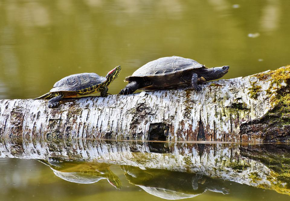 Turtles, Reptile, On The Water, Tortoise Shell, Animal