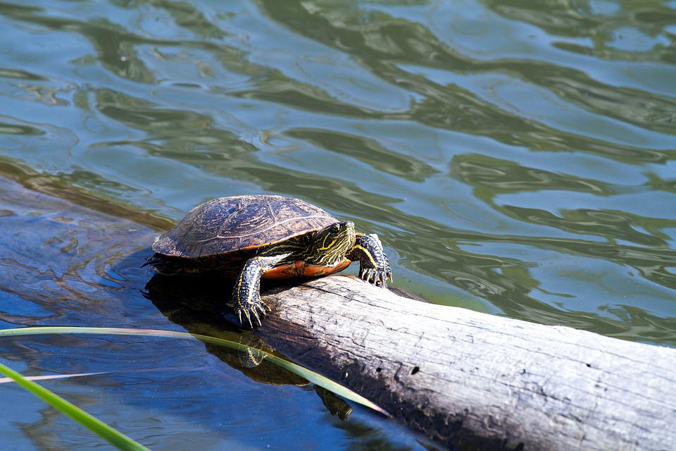Turtle, Water Turtle, Panzer, On The Water