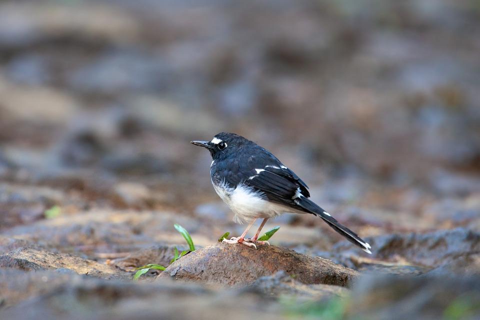 Wild Birds, Cute, Sunda Forktail, On The Way
