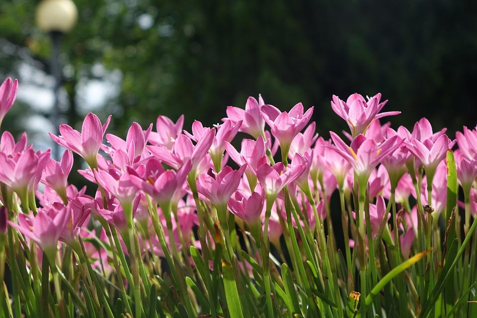 Onion Blue, Lycoris Radiata Section, Pink, Flower