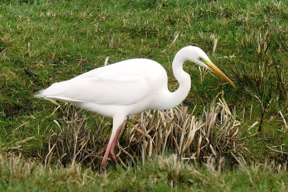 White Heron, Grass, Ditch, Herons, Only, Neck, Beak