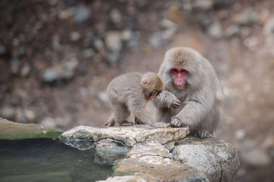 Snow Monkey, Onsen, Steamy, Japan, Wildlife, Winter