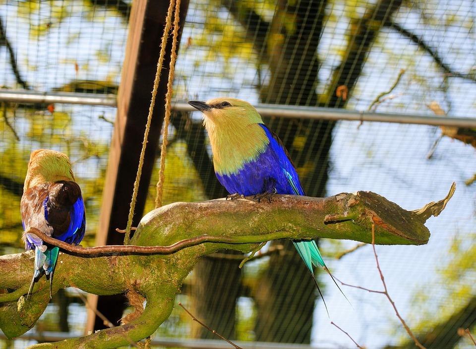 Bird, Opalracke, Blaubachracke, Ultramarine Blue