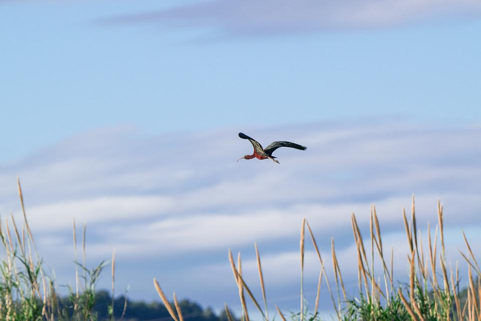 Birds, Nature, Sky, Open Air, Wild Life, Ibis