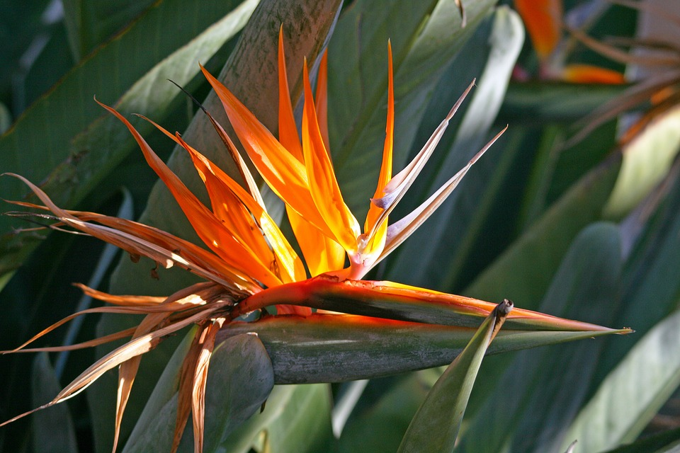 Flowering Strelitzia, Flower, Open, Plant, Indigenous