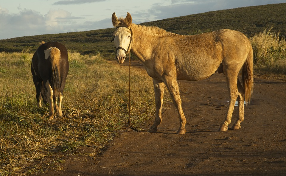 Mule, Equine, Horse, Animal, Hybrid, Open Range