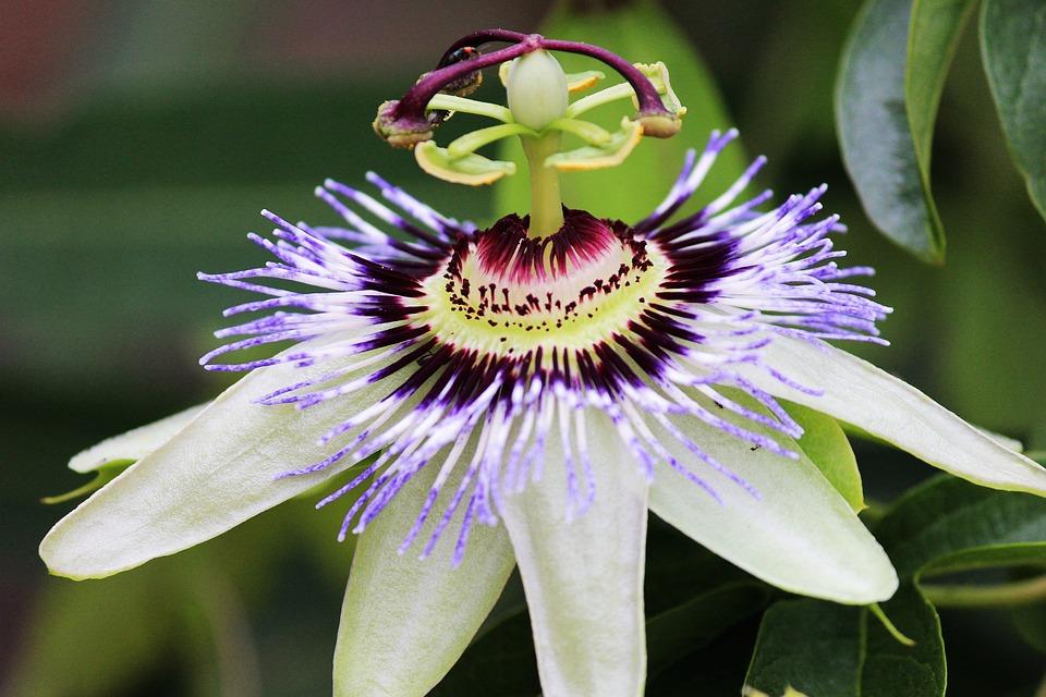 Passion Flower, Blossom, Bloom, Open, White, Flower