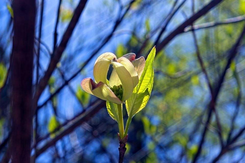 Opening Dogwood Blossom, Dogwood, Blossom, Bloom, Plant