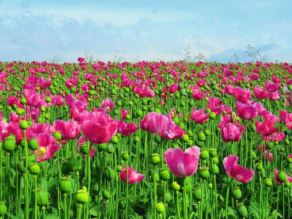 Free photo opium poppy field poppy field of poppies max pixel poppy field opium poppy field of poppies mightylinksfo