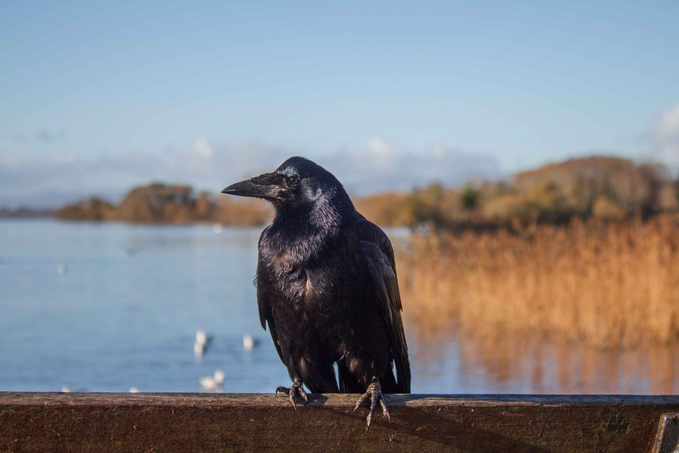 Crow, Ireland, Landscapes, Or Swamp