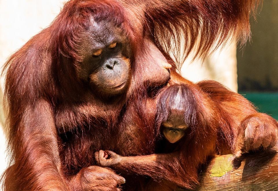Orang Utan, Monkey, Primate, Orangutan, Animal, Mammal