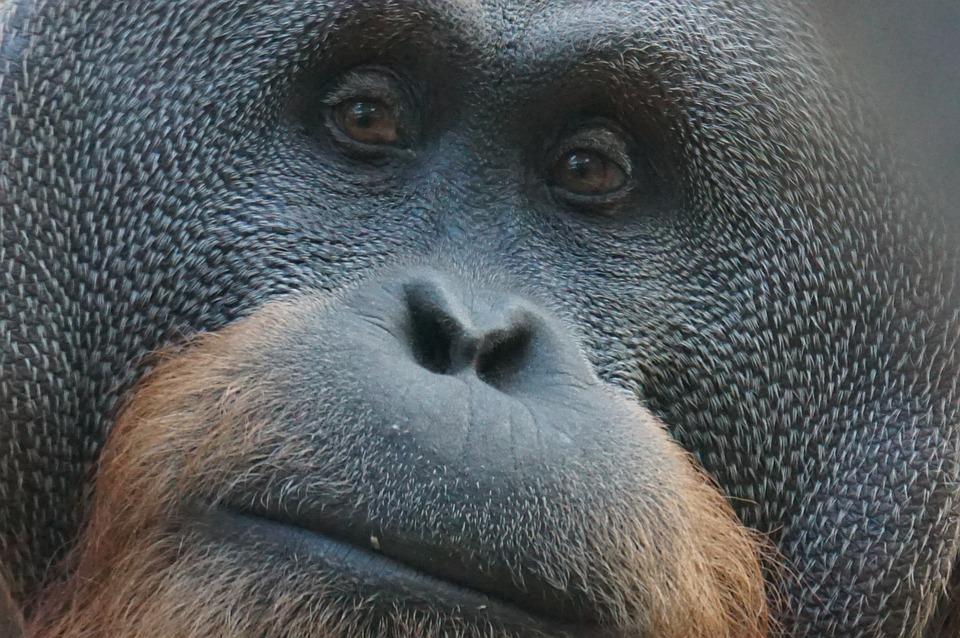 Orang Utan, Ape, Primate, Mammal