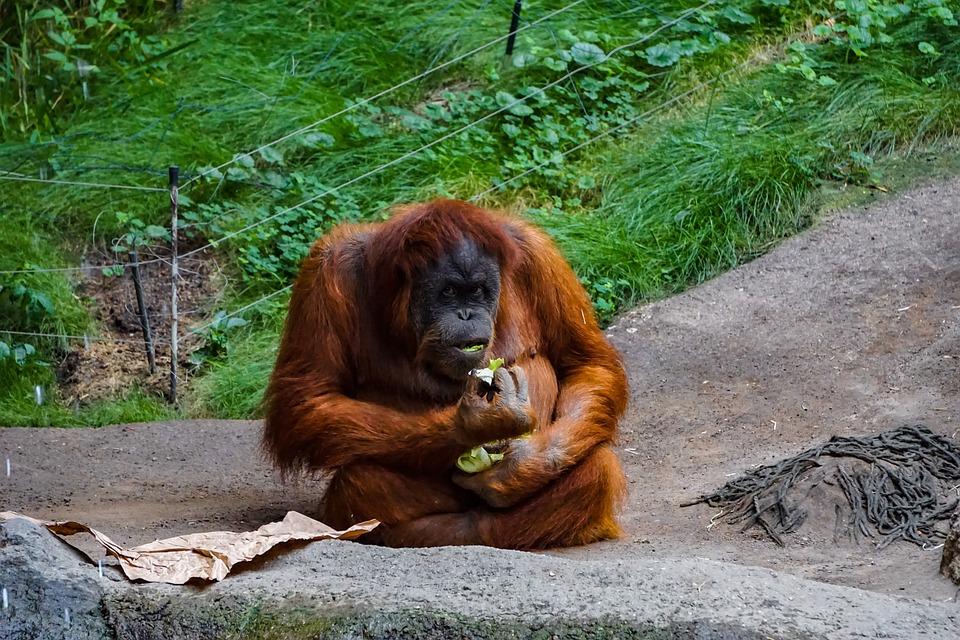Orang Utan, Monkey, Primate, Mammal, Orang-utan, Zoo