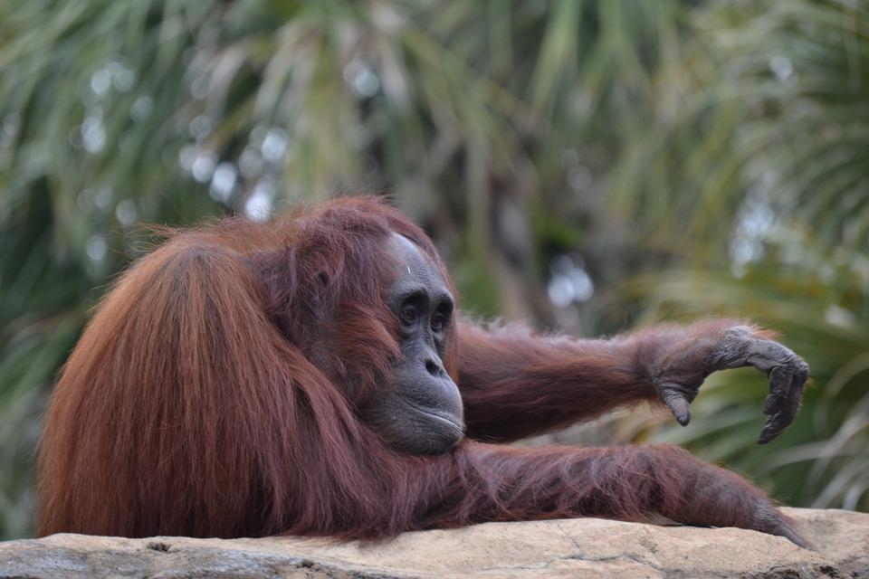 Mono, Fauna, Ape, Orang-outang