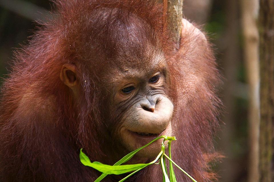 Orang-utan, Wild, Borneo, Primate, Ape, Jungle, Mammal