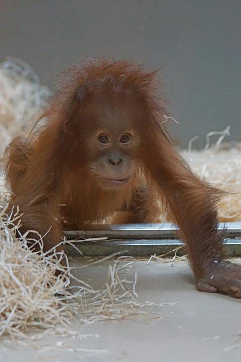 Orang-utan, Primate, Monkey, Young Animal, Yearling
