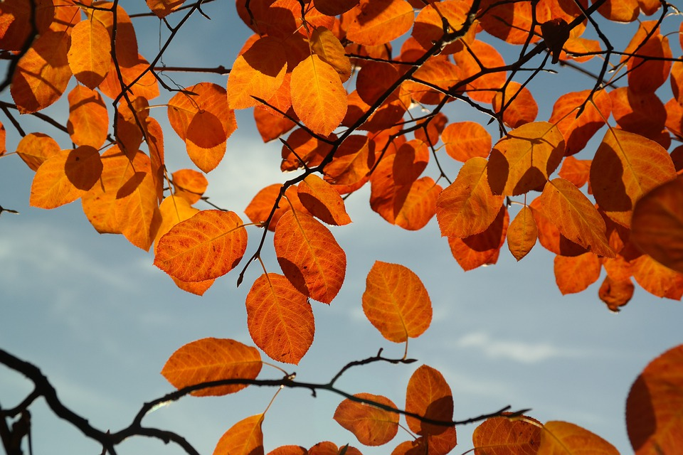Leaves, Autumn, Orange, Red, Blood Red, Amelanchier