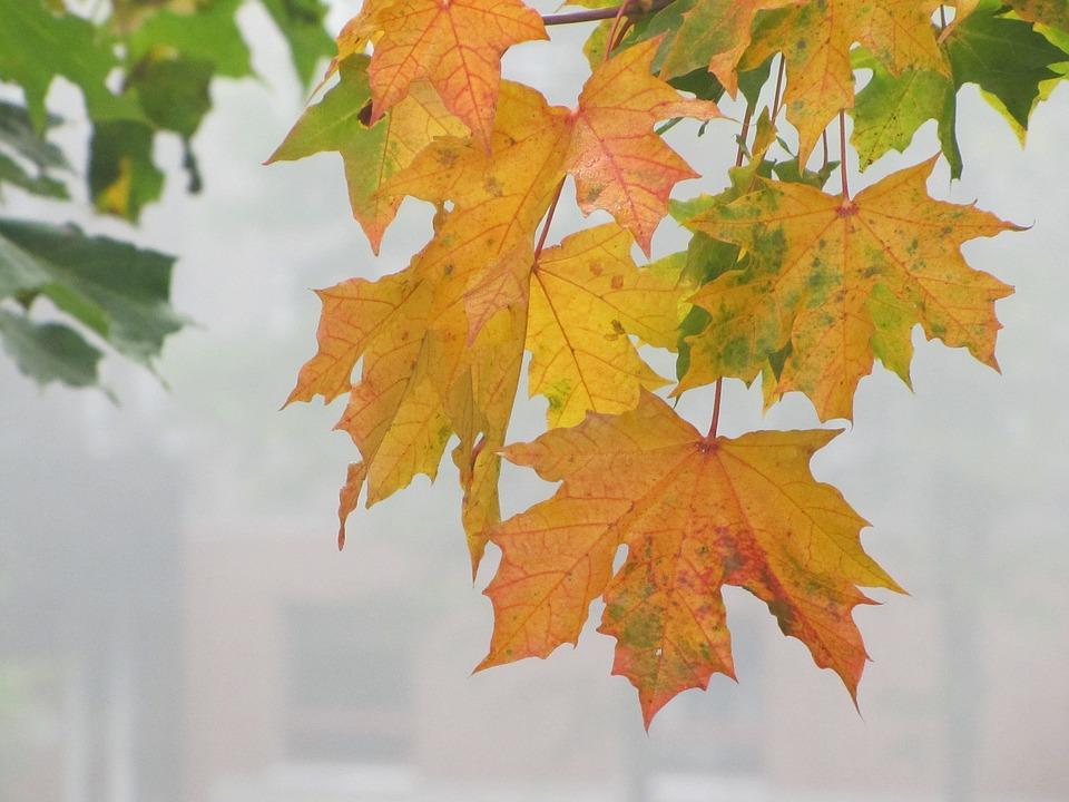 Autumn, Autumn Colors, Autumn Leaves, Maple, Orange