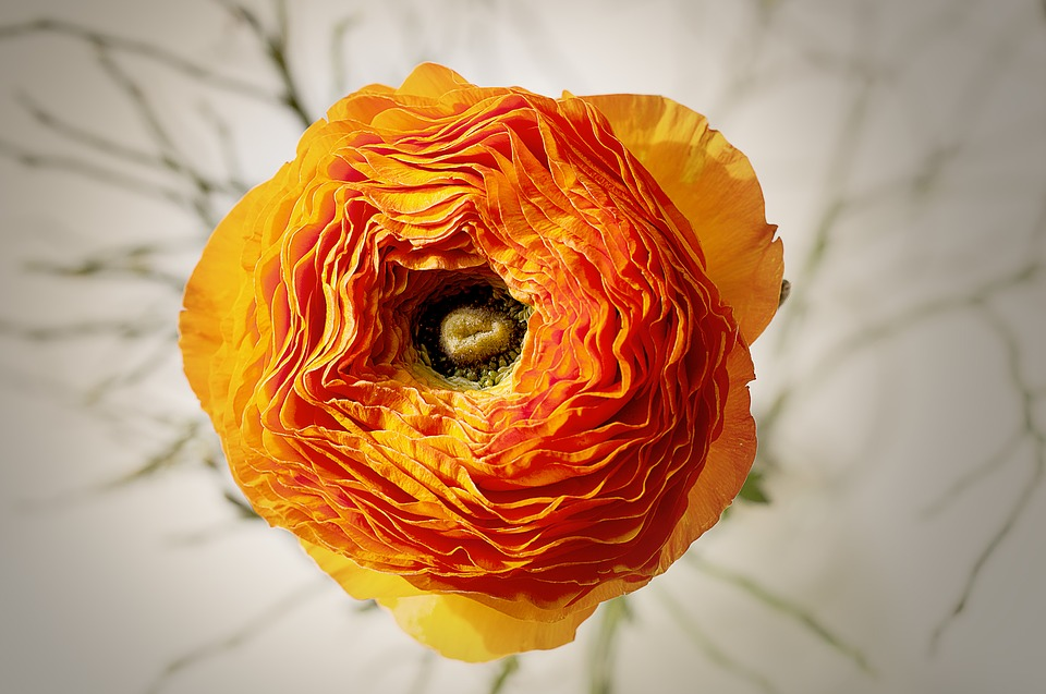 Ranunculus, Flower, Blossom, Bloom, Orange, Bright