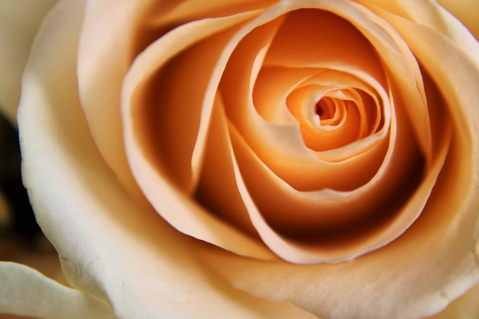 Rose, Pale, Orange, Pastel, Bloom, Flower