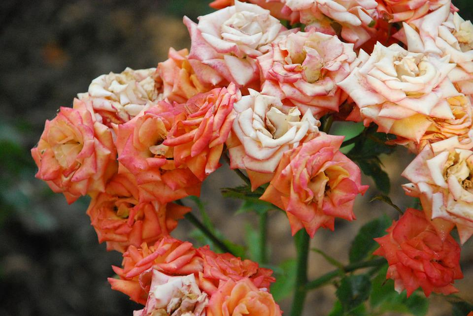 Rose, Orange, Bloom