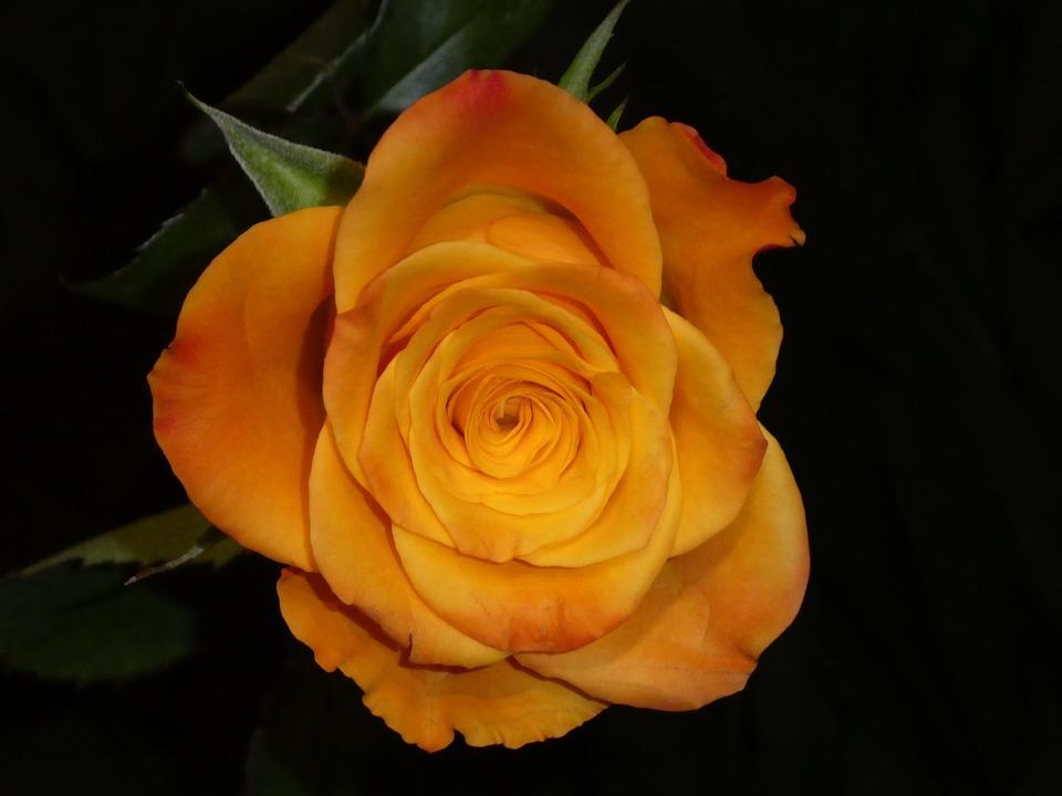 Rose, Blossom, Bloom, Yellow, Orange