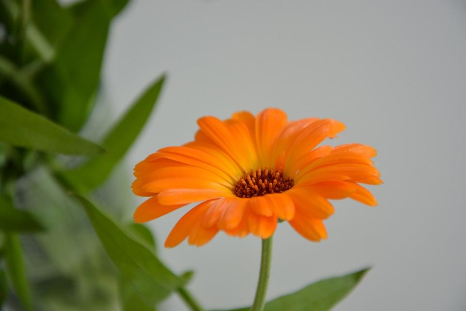 Flower, Plant, Flowers, Orange Blossom