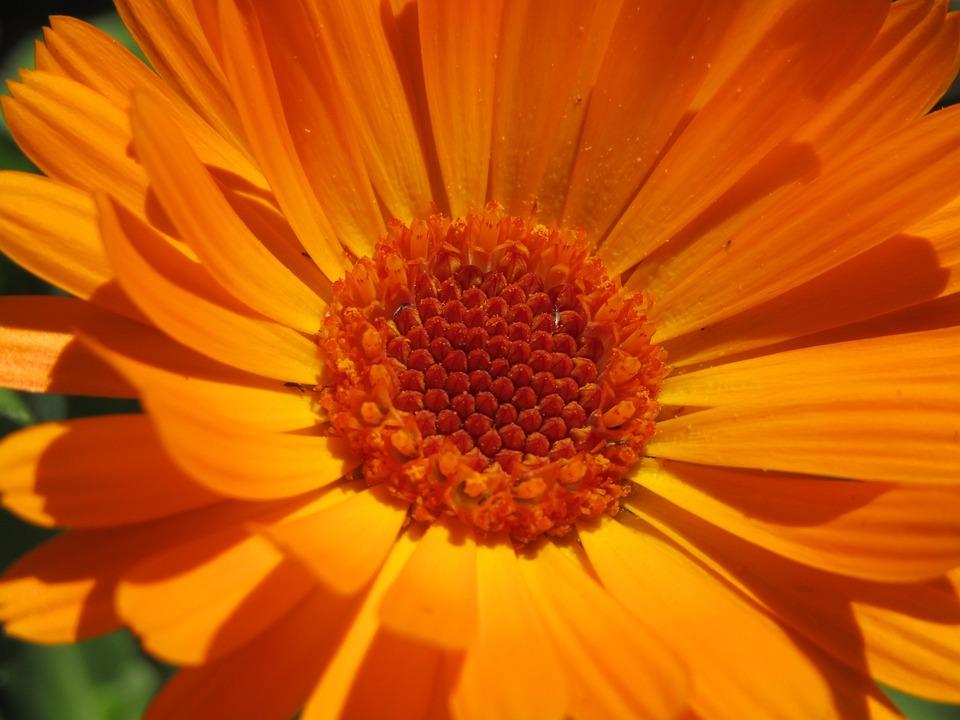 Marigold, Orange Blossom, Macro, Zoom, Nature, Garden