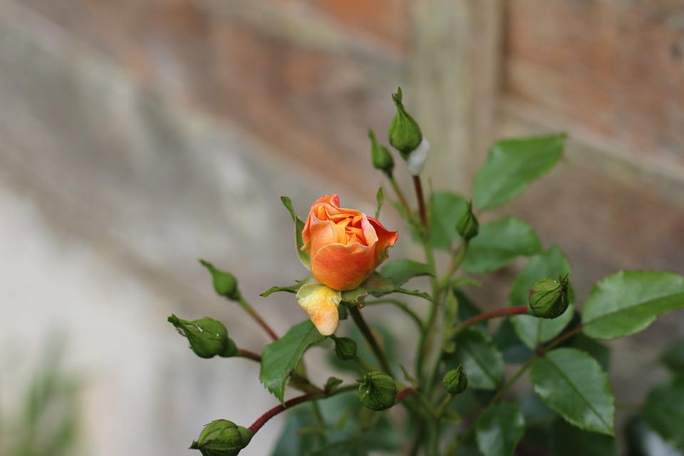 Rose, Garden, Bouquet, Orange, Bud