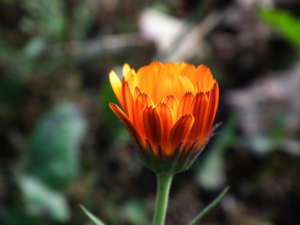 Flower, Orange, Bright, Garden Flower, Bud, Summer