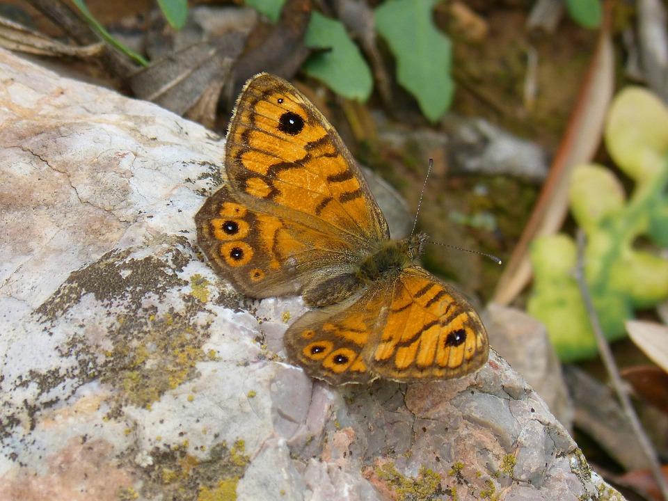 Orange Butterfly, Lasiommata Megera