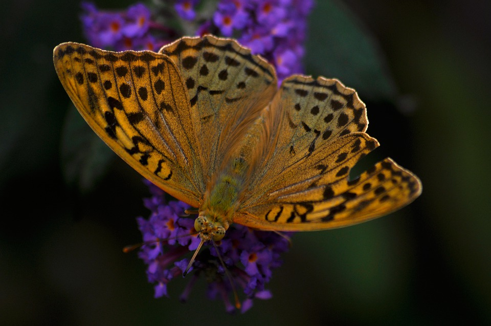 Butterfly, Orange, Insect, Nature, Butterflies