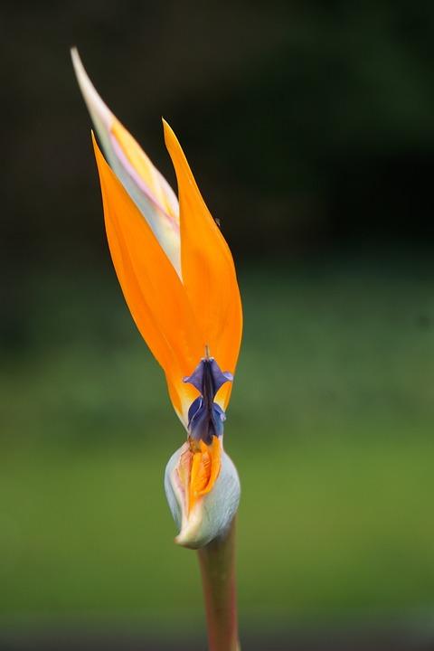 Flower, Paradise Flower, Orange, Caudata