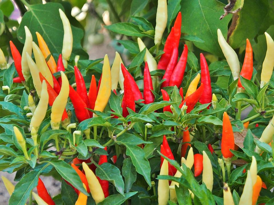 Chilli, Orange, Red, Yellow, Sharp, Chilli Pepper